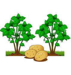 Potatoes on the field vector