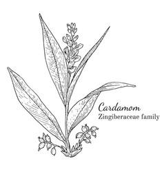 Ink cardamom hand drawn sketch vector