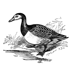 Barnacle goose vintage engraving vector image vector image