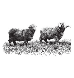 Delaine merino sheep vintage vector