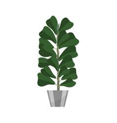 ficus deciduous plant in flowerpot house plant vector image