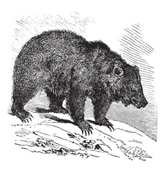 Bear vintage engraving vector