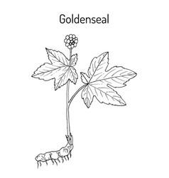 Goldenseal hydrastis canadensis medicinal plant vector