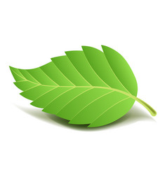 Green tree leaf on small stem with ribbed edge vector