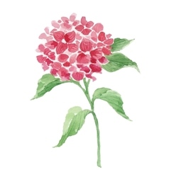 Branch of red hydrangea vector image vector image