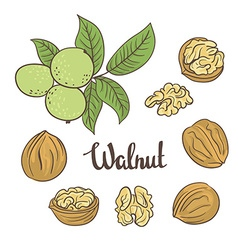 Green walnuts with leaves and dried walnuts vector