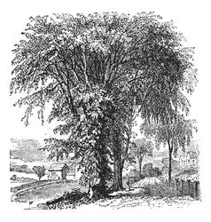 American elm vintage engraving vector image vector image