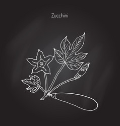 zucchini food plant vector image