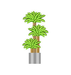 Dragon trees deciduous plant in flowerpot house vector