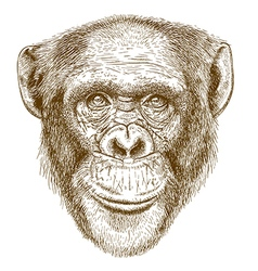 engraving chimp vector image