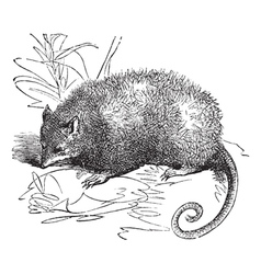 Possum vintage engraving vector