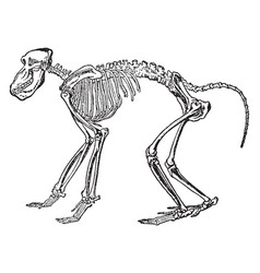 Chacma baboon skeleton vintage vector