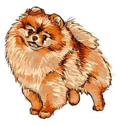 dog breed pomeranian vector image
