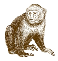 Engraving capuchin vector