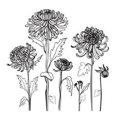 japanese chrysanthemum set contour realistic vector image