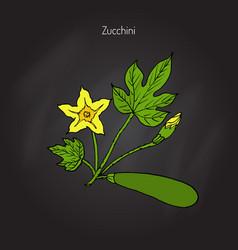 zucchini food plant vector image