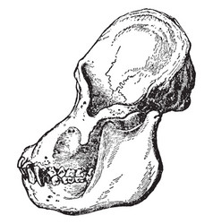 Adult male orangutan skull viewed from side vector