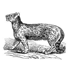 Snow leopard vintage engraving vector image vector image