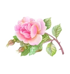 Watercolor garden rose isolated on white vector