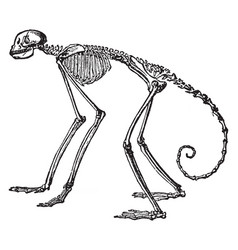 Side view of skeleton of south american spider vector