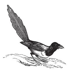 Magpie pica vintage engraving vector