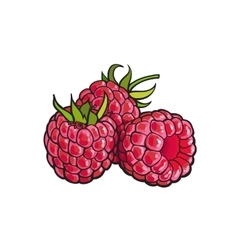 Ripe raspberry isolated on white background vector