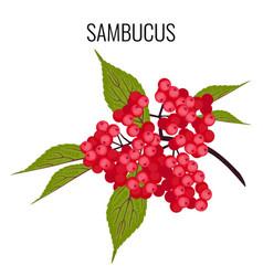Sambucus ayurvedic medicinal herb elder or vector