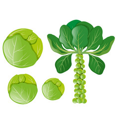 Green cabbages and brussel sprouts vector