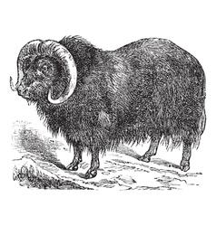 Musk ox vintage engraving vector