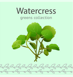 watercress vector image vector image