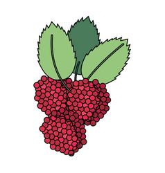 Delicious raspberries fruit vector