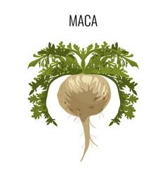maca ayurvedic medicinal herb isolated root vector image vector image
