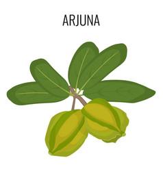 Arjuna ayurvedic medicinal herb isolated white vector