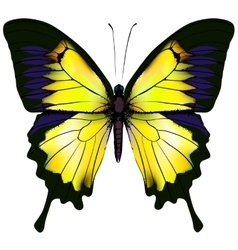 Butterfly Yellow isolated vector image vector image