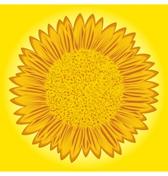Sunflower detailed vector