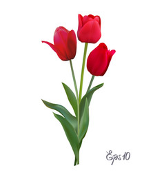 Red tulips isolated on white background close up vector