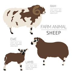 Sheep farming infographic template ram ewe lamb vector