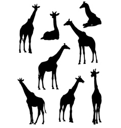 Collection of silhouettes of giraffes vector image