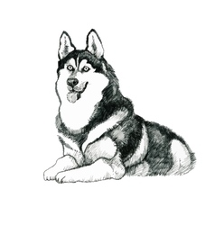 Sketched husky dog hand drawn vector