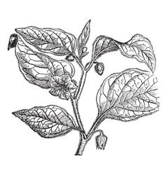 cape gooseberry vintage engraving vector image