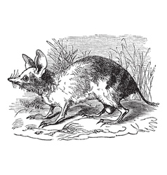 Barred bandicoot vintage engraving vector
