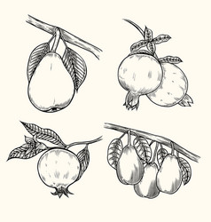 Pear and pomegranate vector