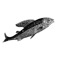 Arctic grayling vintage engraving vector image