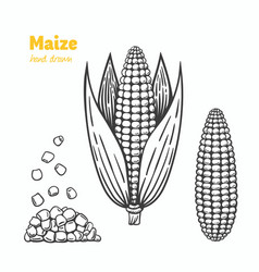 Maize hand drawn vector