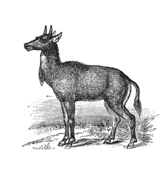 Nilgai vintage engraving vector image