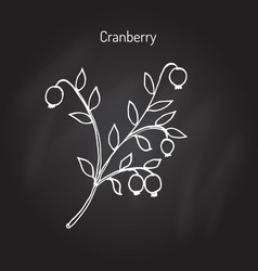 wild forest ripe cranberries and leaves vector image vector image