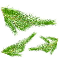 Pine leaves on white background vector image