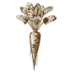 Engraving beetroot vector