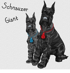 Dogs breed giant schnauzer color black vector