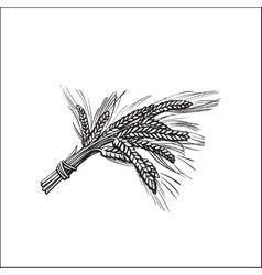 Bunch of malt barley ears sketch style vector image